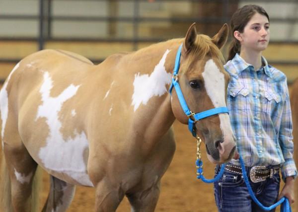 O Aged stallions halter class.